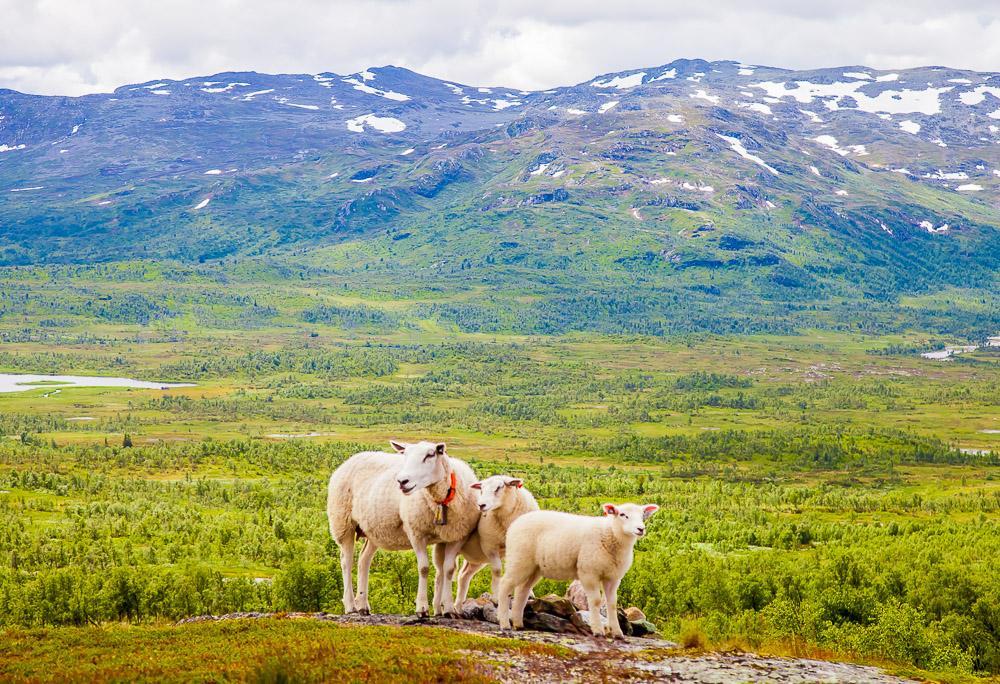 sheep mountains norway