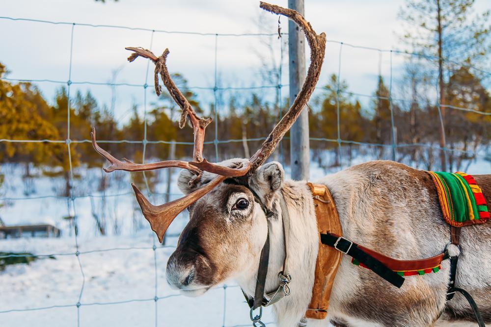 sami reindeer experience lights over lapland kiruan abisko sweden