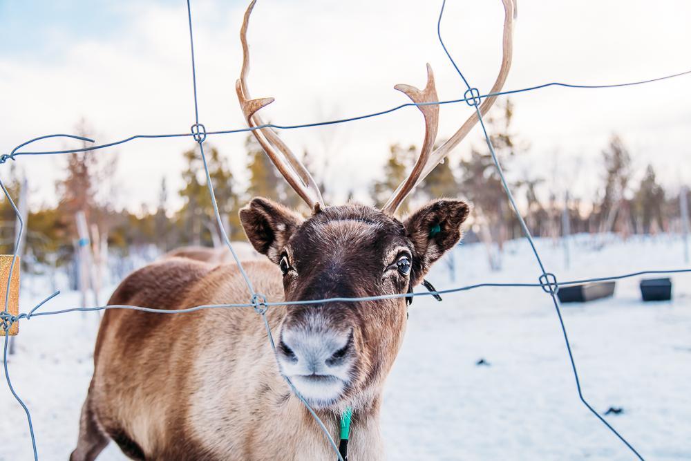 visiting sami reindeer swedish lapland kiruna abisko sweden