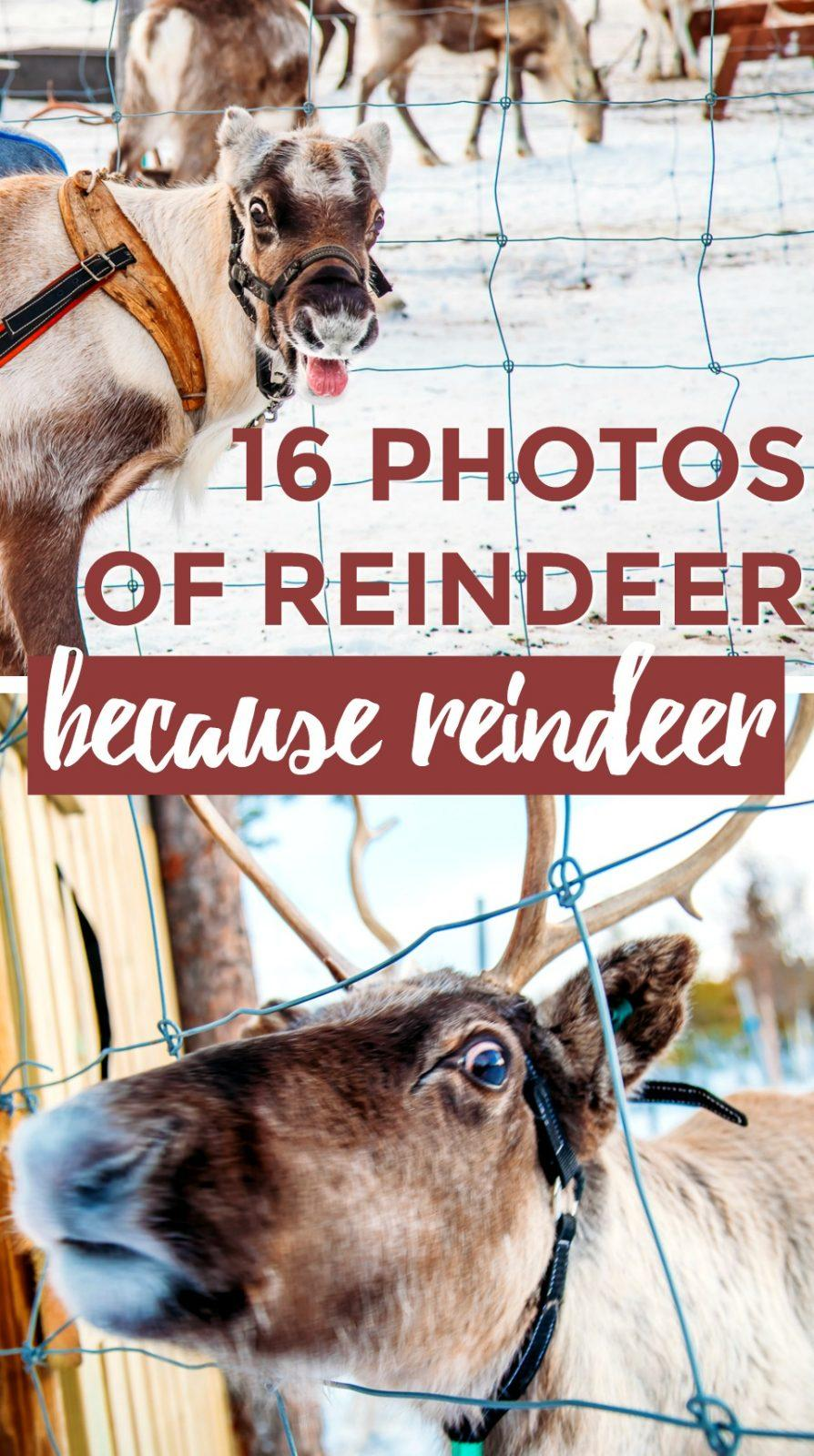 Visiting reindeer in a Sami village in Swedish Lapland - Kiruna, Sweden
