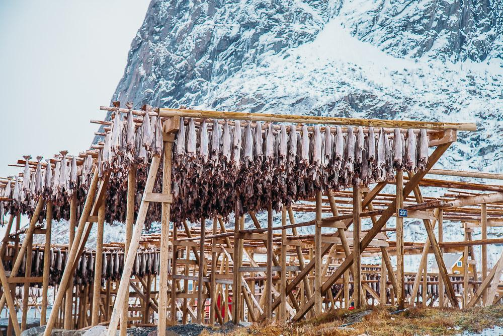 hanging drying fish lofoten norway