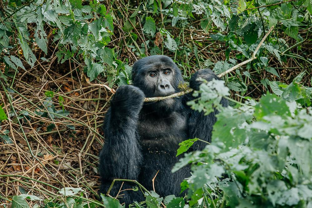 gorilla tracking in uganda bwindi national park