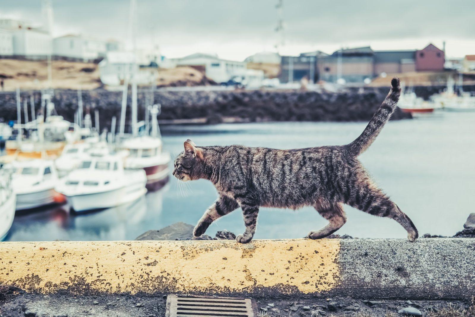 norwegians like cats