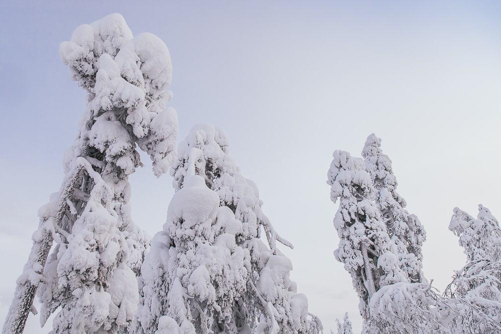 snow covered trees in finnish lapland