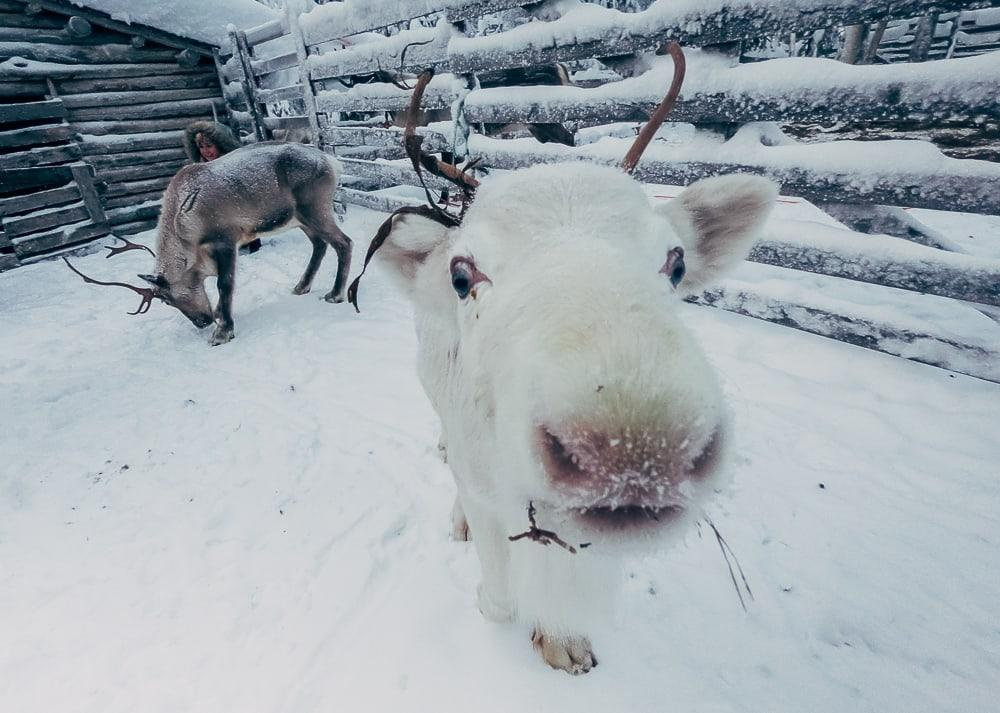 reindeer farm finnish lapland