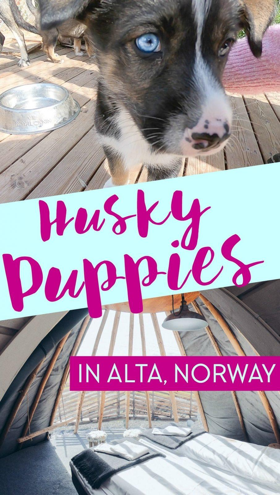 If you stay at Holmen Husky Lodge in Alta, Northern Norway in the summer you can play with the husky puppies!