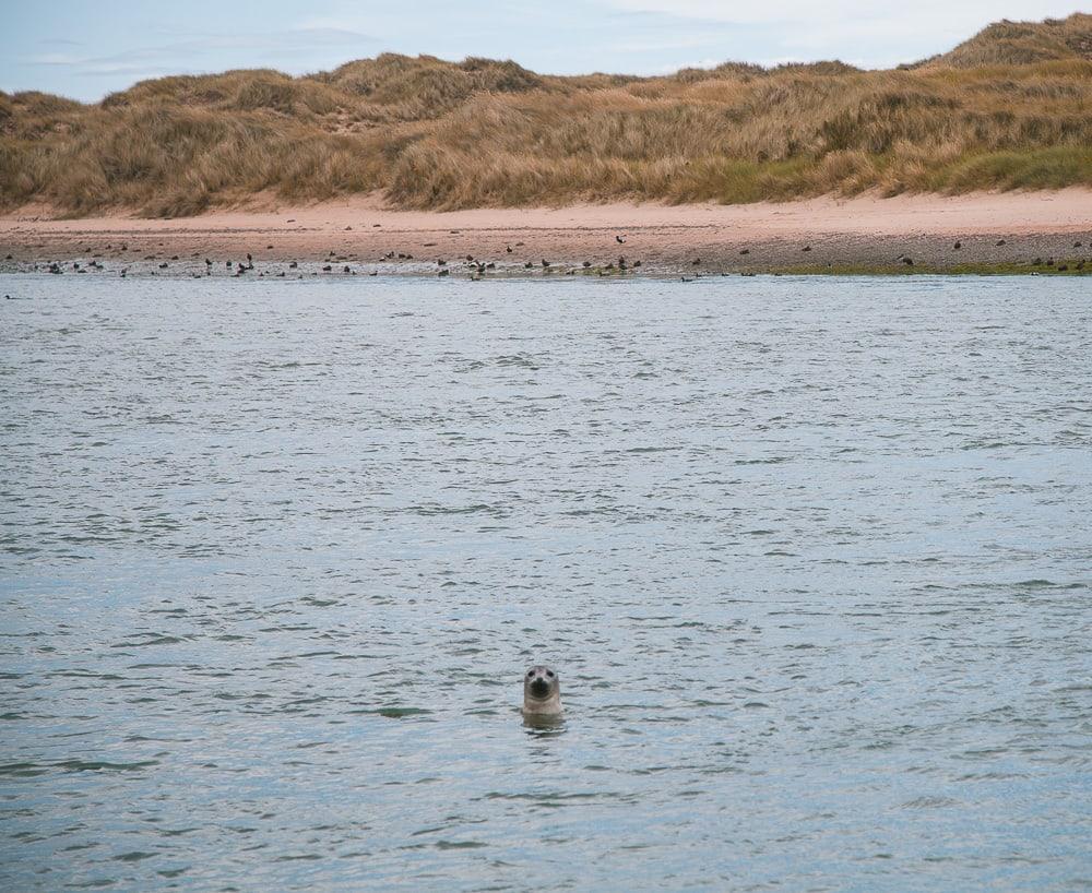 forvie sands seals aberdeenshire