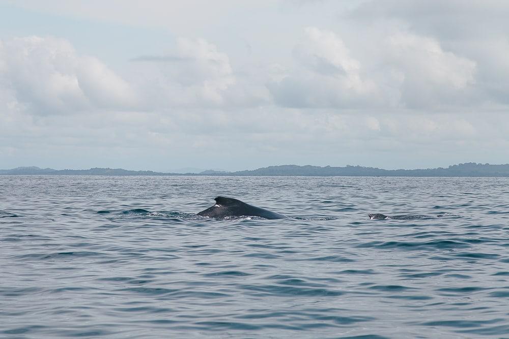 whales gulf of chiriqui panama