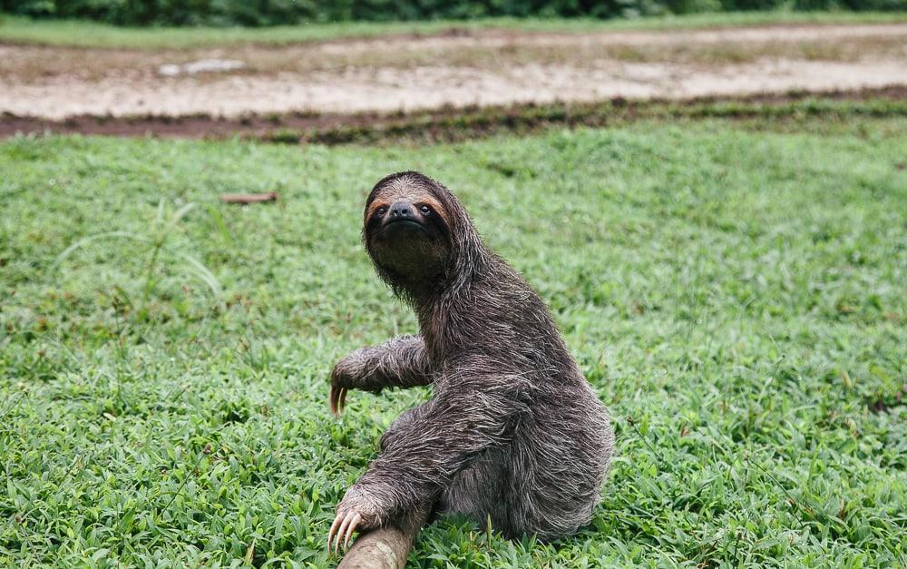 sloth bastimentos island bocas del toro panama