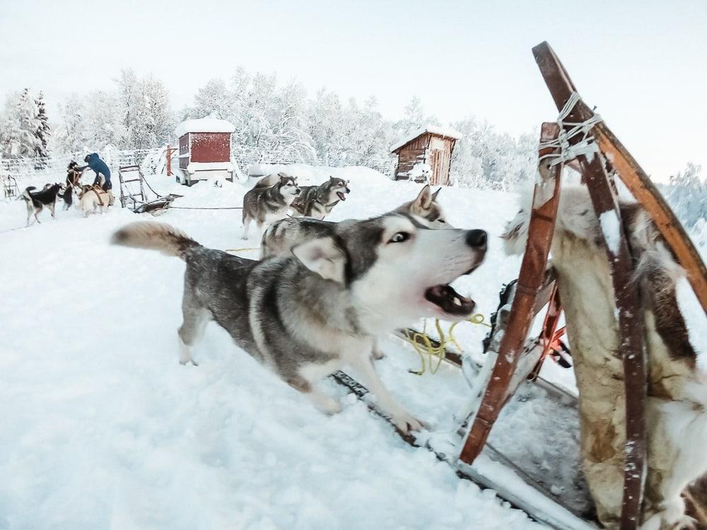 husky sledding on senja, norway in december