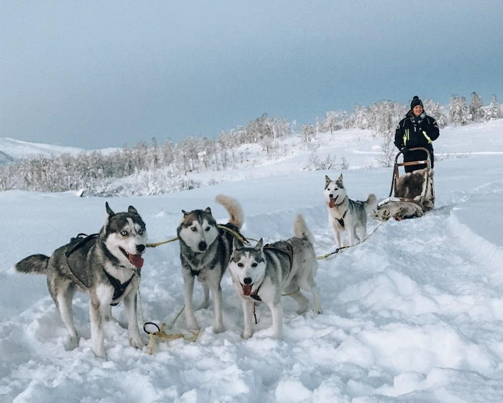 husky sledding on senja, northern norway senja husky adventure
