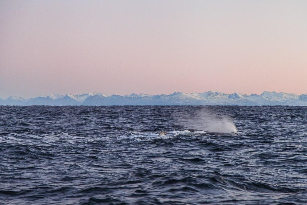 sea safari andenes whale watching norway winter
