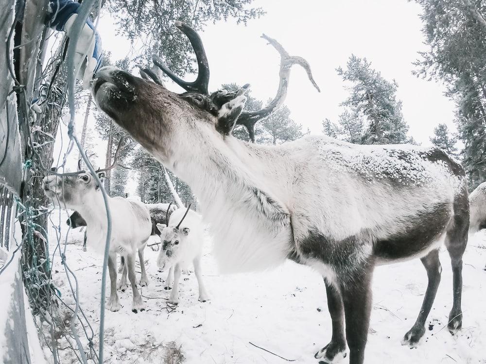 reindeer lodge reindeer nutti sami siida kiruna sweden