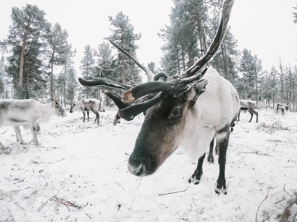 nutti sami siida reindeer lodge sweden