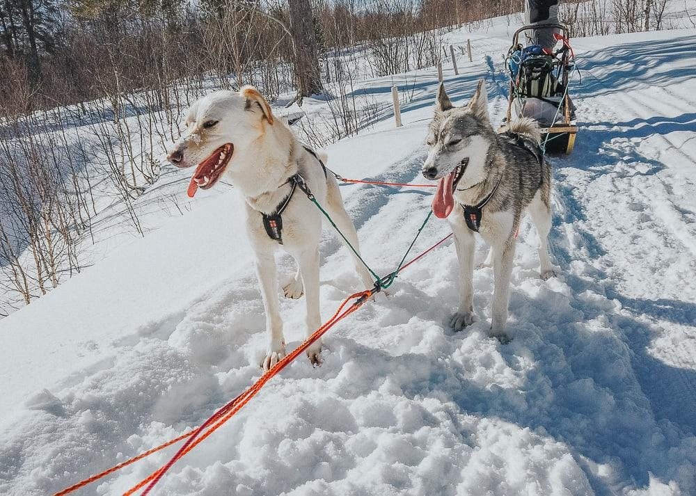 Aaslid Polar huskies susendal hattfjelldal helgeland norway