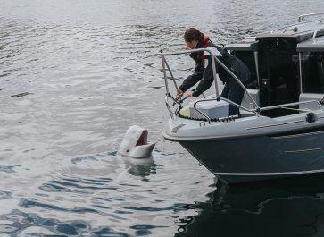 hvaldimir beluga whale in hammerfest harbor norway