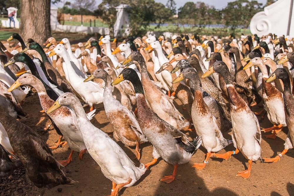 duck parade at Vergenoegd Löw Wine Estate Stellenbosch South Africa