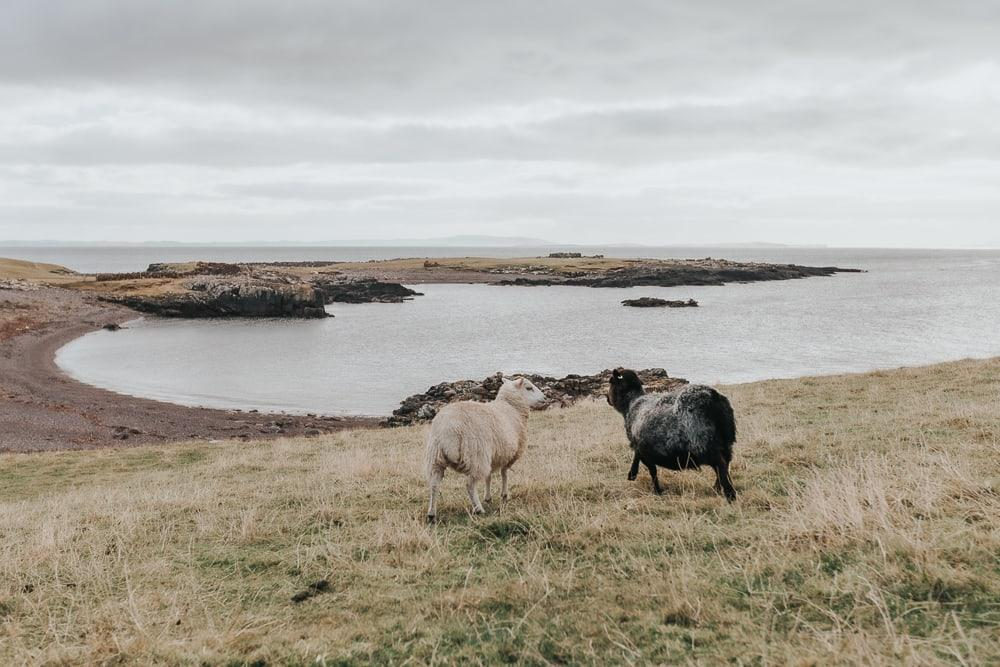 Eshaness sheep on a beach in shetland
