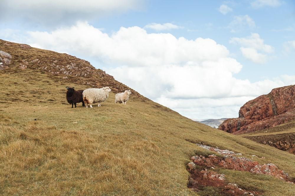 wooly sheep in shetland