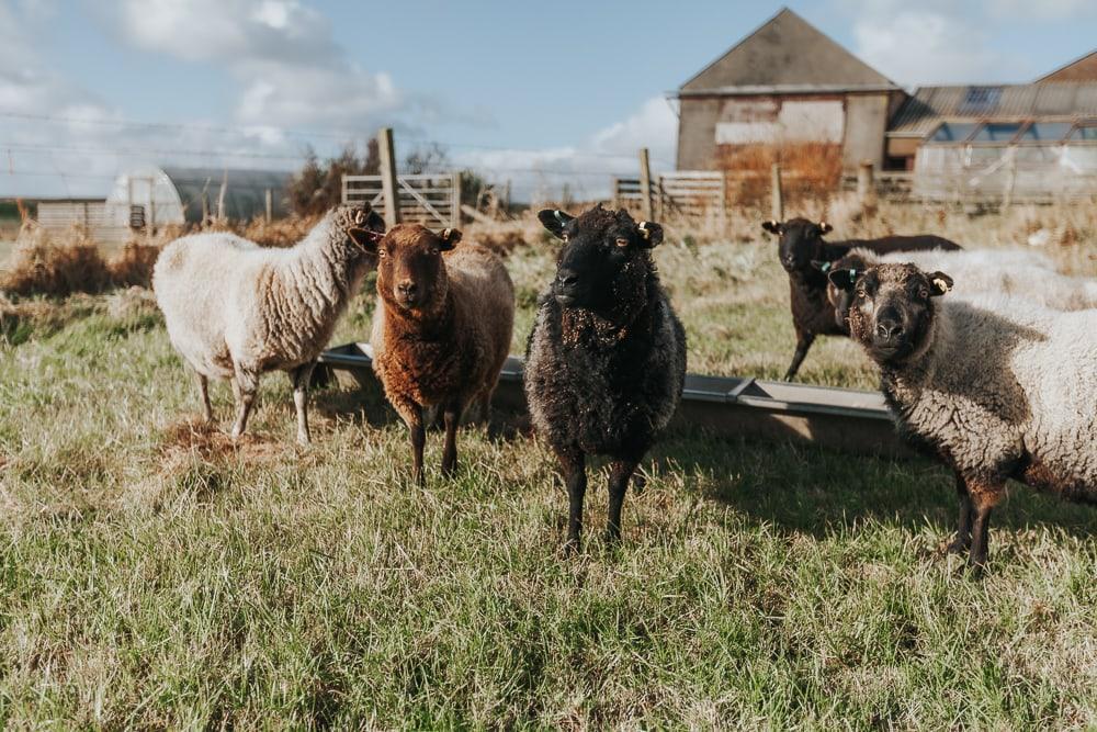 mouton laineux dans les shetland