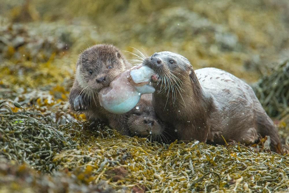 loutre photographiée par Richard Shucksmith de Shetland Photo Tours