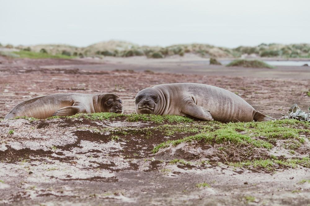 elephant seal pups sea lion island falklands