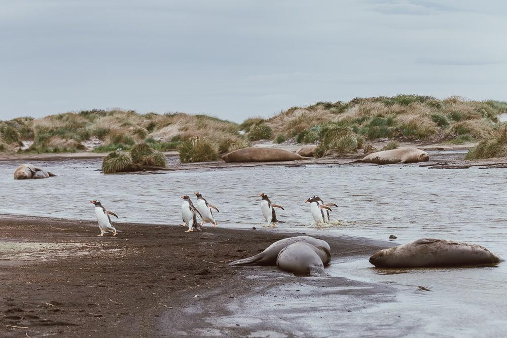 penguins and elephant seals sea lion island falklands