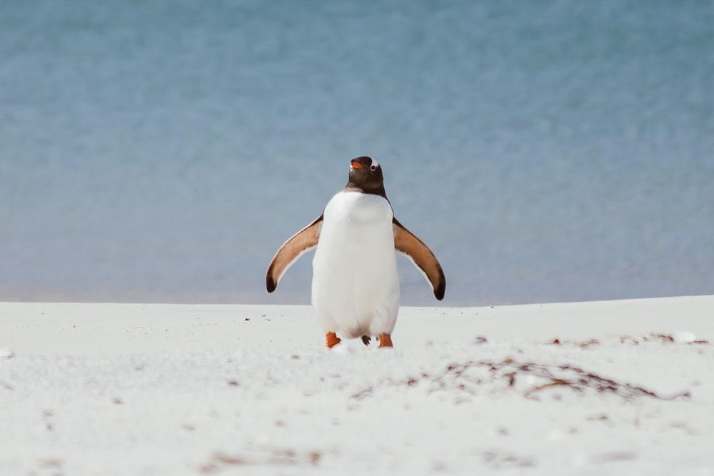 gentoo penguin carcass island falklands