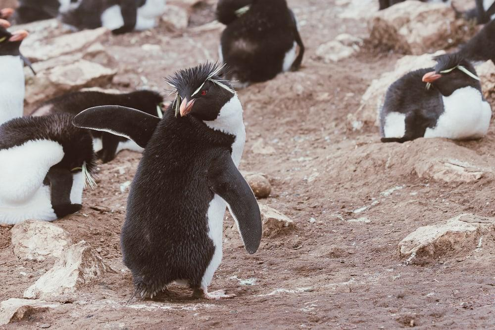 rockhopper penguins pebble island falklands