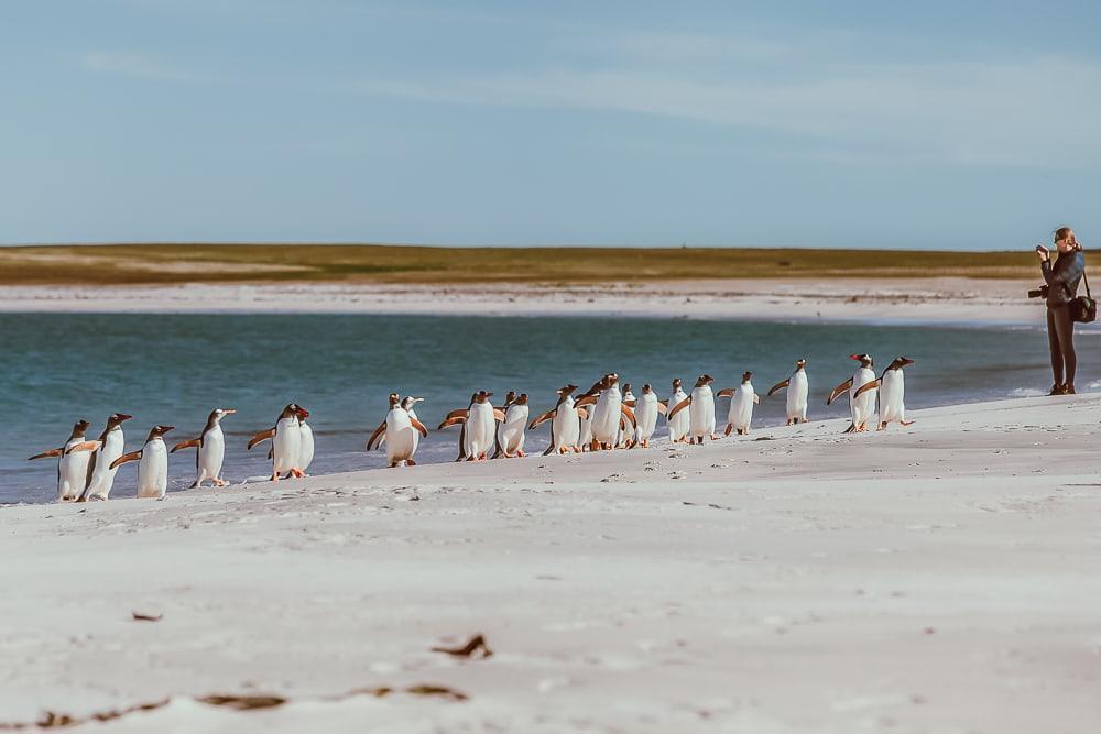 gentoo penguins bleaker island falkland islands