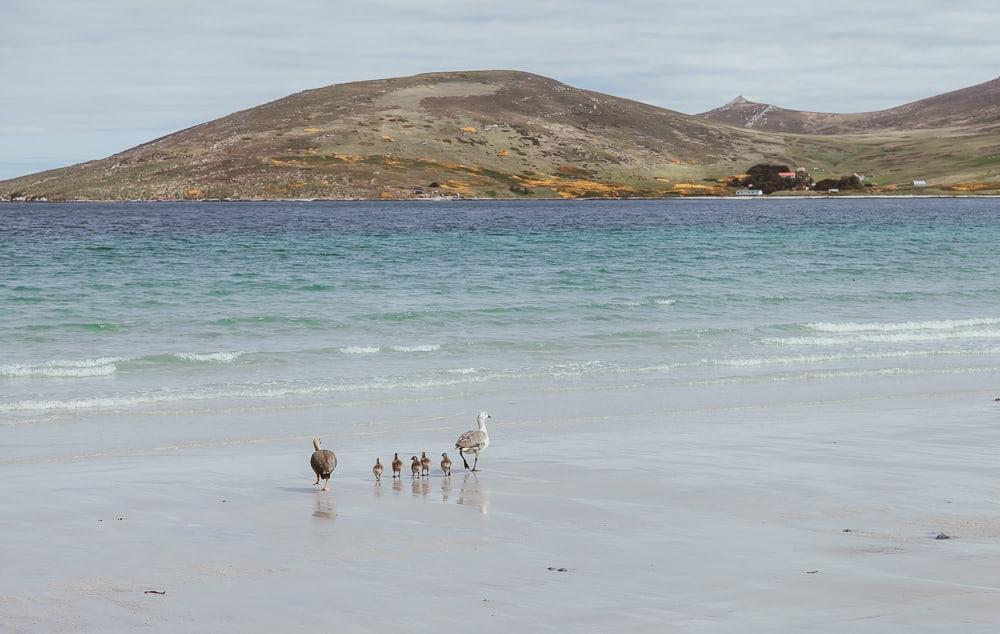 carcass island falkland islands