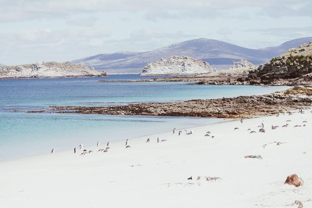 gentoo penguins carcass island falklands