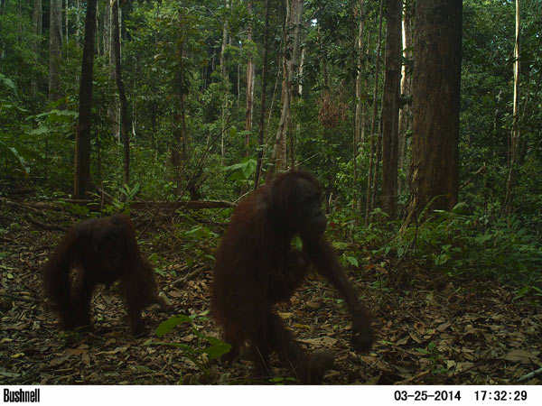 An orangutan family walks down a road in a recently logged forest. Photo credit: Brent Loken.
