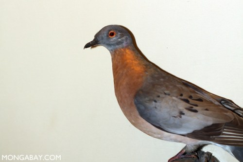 Americans drove the passenger pigeon to extinction more than a century ago.