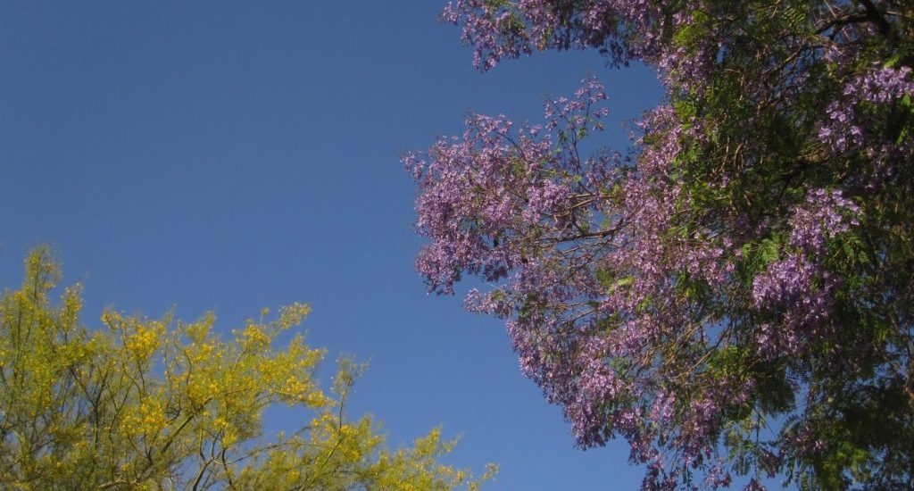 JACARANDA SEASON IN LA
