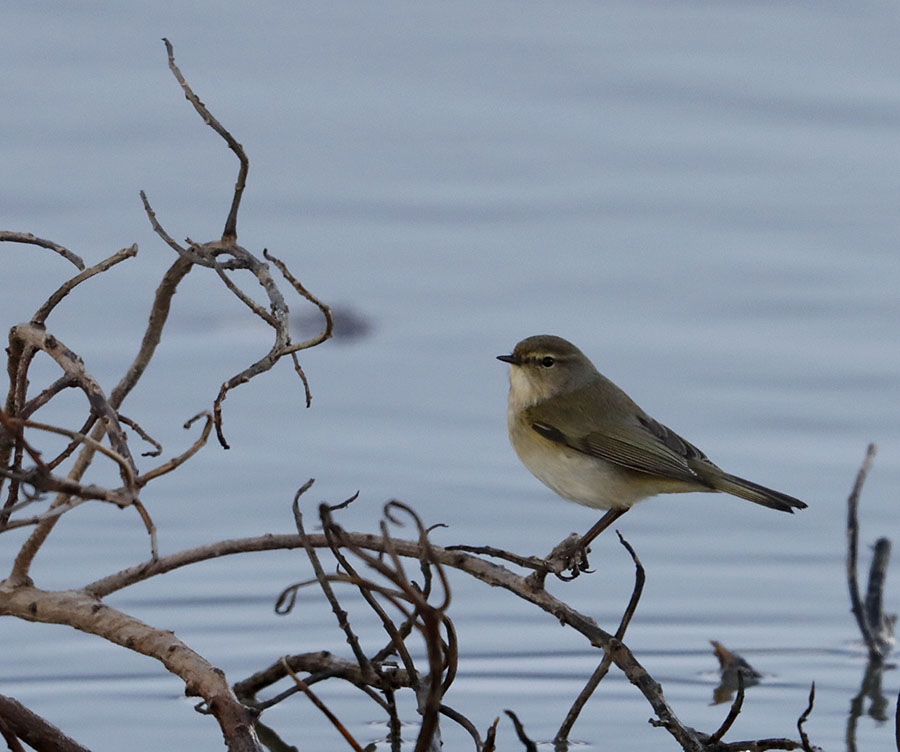 Hebridean Imaging - Yvonne Benting - Bird Photography - Spain - Chiffchaff - Barbate