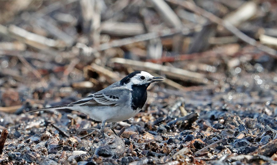Hebridean Imaging - Yvonne Benting - Bird Photography - Spain - White Wagtail - La Janda