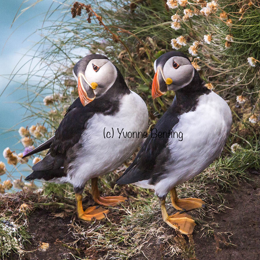 Hebridean Imaging art and photography outer hebrides Puffin greeting card