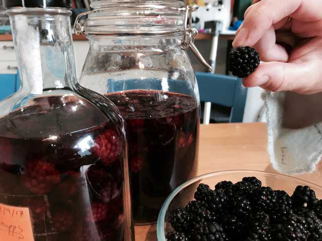 Bowl of brambles, jars of bramble alcohol, hand holding bramble