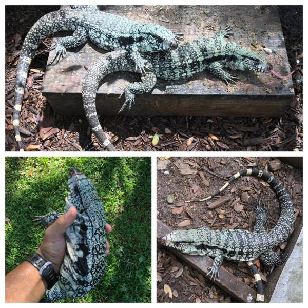 Blue Tegu And Albino Hector Habitat - Year of Clean Water