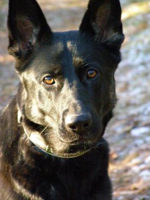 Hedeforsens Vixie, bombhund