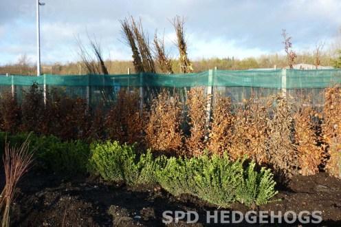 SPD Hedgehogs bareroot beech & buxus in field