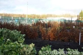 SPD at Hedgehogs bareroot beech & laurels in field