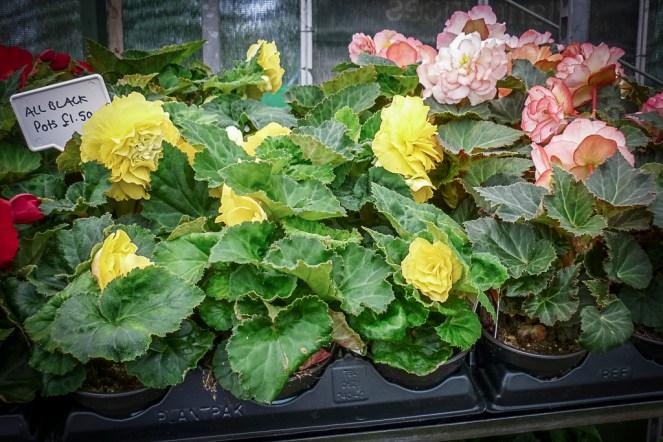 Begonias for tubs