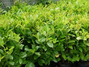 Common Laurel hedging plant
