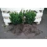 Box Bush Bare Root
