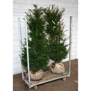 Yew Rootball Hedging Plants