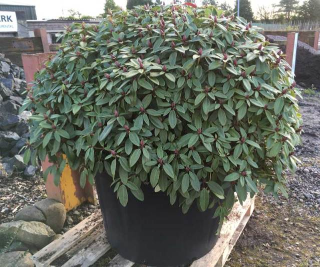Buy Rhododendrons at Hedgehogs Nursery
