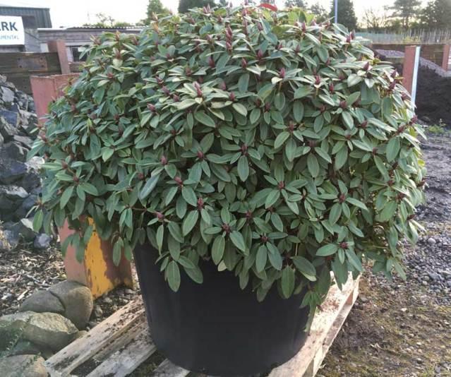 Buy Rhododendrons at Hedgehogs Nursery