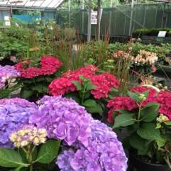 Stunning Royalty Hydrangea Purple